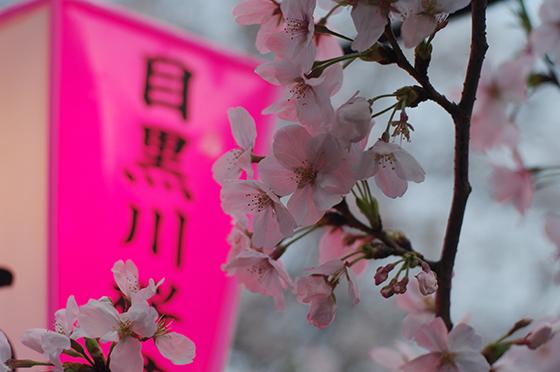 目黒川沿いの桜 2014 7