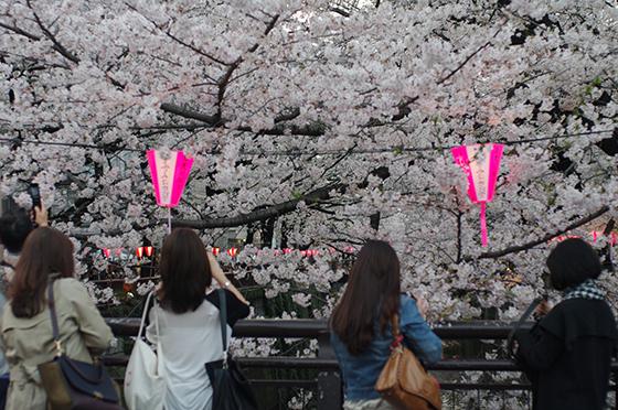 目黒川沿いの桜 2014 8