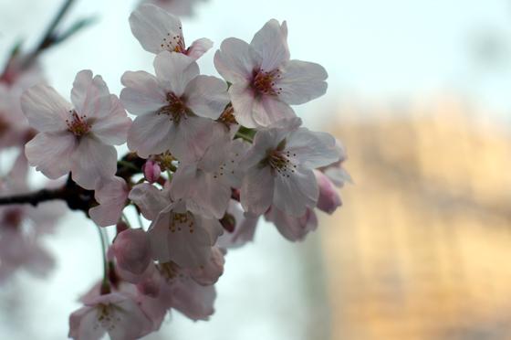 目黒川沿いの桜 2014 10