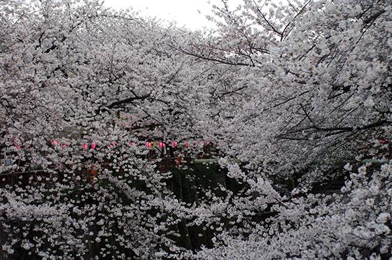 目黒川沿いの桜 2014 12