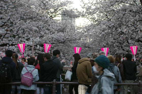 目黒川沿いの桜 2014 13