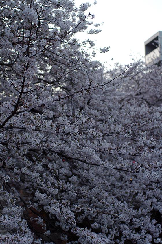 目黒川沿いの桜 2014 15