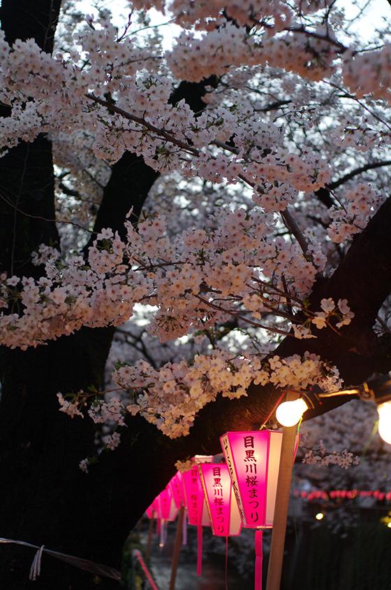 目黒川沿いの桜 2014 18
