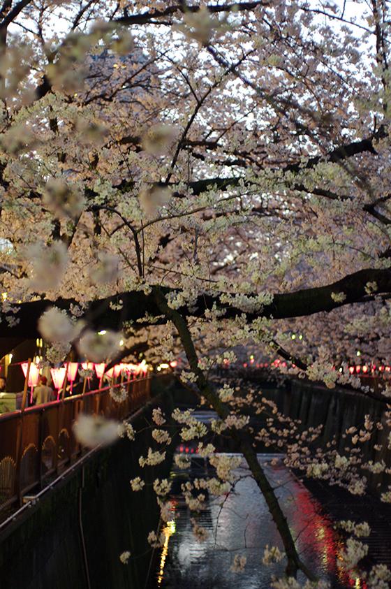 目黒川沿いの桜 2014 20