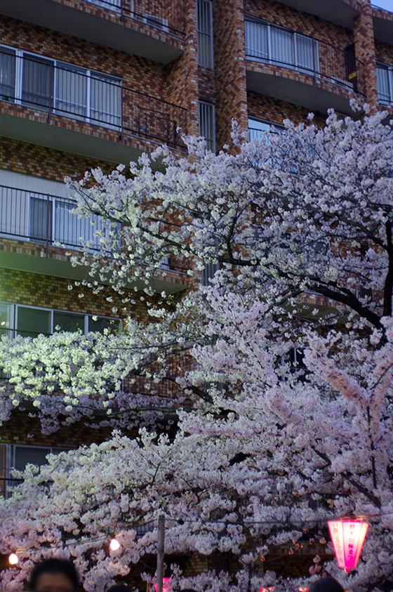 目黒川沿いの桜 2014 21
